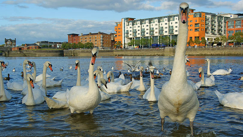 Swans in Limerick, in case you're wondering